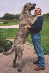 irish_wolfhound_2