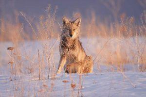 coyoteps